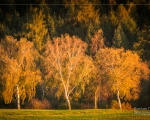 Glowing Birches