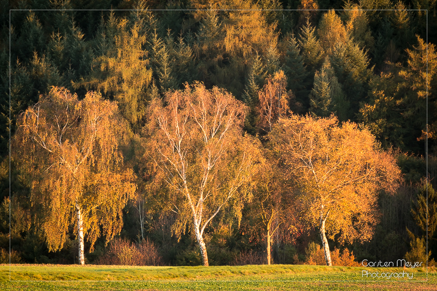 Foto – Glowing Birches