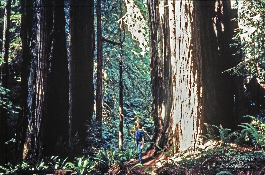 Redwoods – Giganten des Waldes
